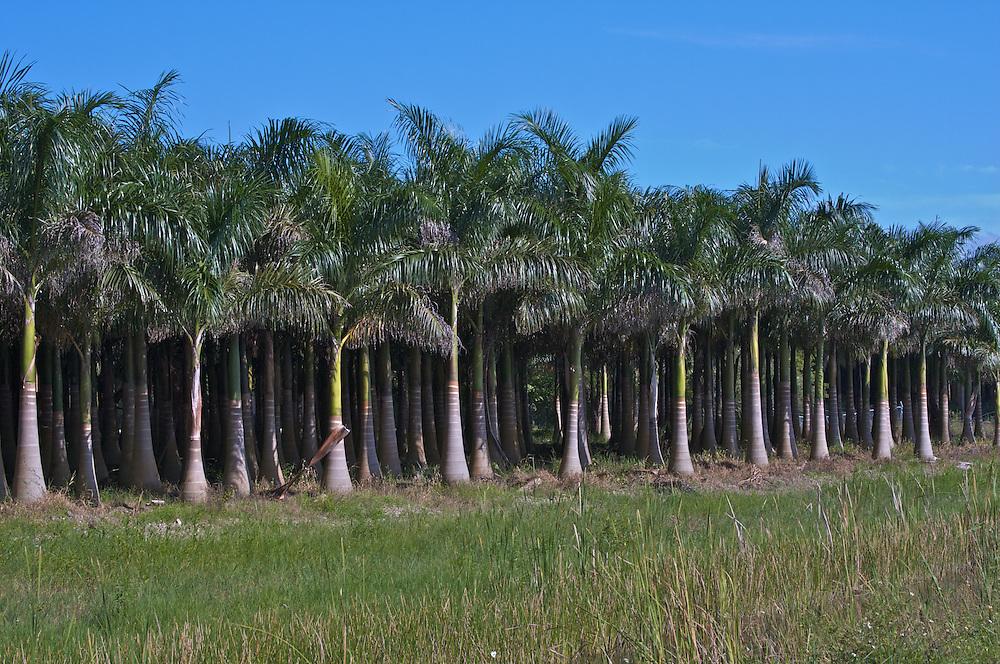 Palm Tree Farm, Homestead, FL 8/08