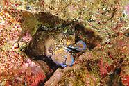 Graeter slipper lobster-Grande cigale (Scyllarides latus)
