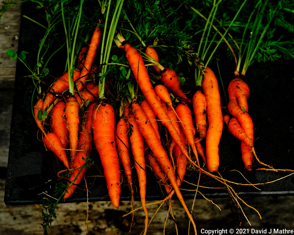 Garden Carrots. Image taken with a Fuji X-H1 camera and 80 mm f/2.8 OIS macro lens.