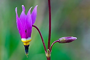Common Shooting star (Dodecatheon meadia) in Sinclair Canyon<br />Kootenay National Park<br />British Columbia<br />Canada