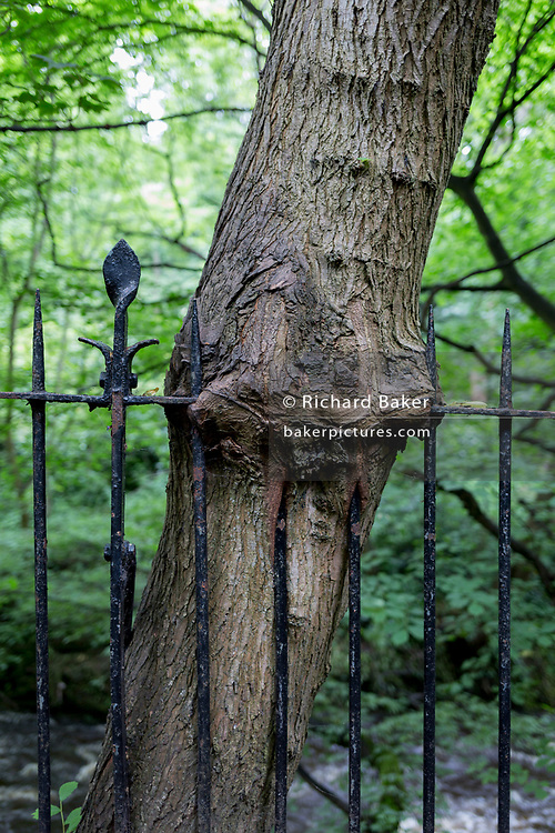 The trunk of a tree that has grown through the ironwork of riverside railings on the Water of Leith at Dean Village, on 26th June 2019, in Edinburgh, Scotland.