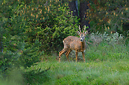 Roe deer, Capreolus capreolus, near Deven, Western Rhodope mountains, Bulgaria