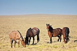 Band of Mustangs roaming free on the Wyoming Desert