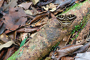 Butterfly in Peradayan Forest Reserve, Brunei