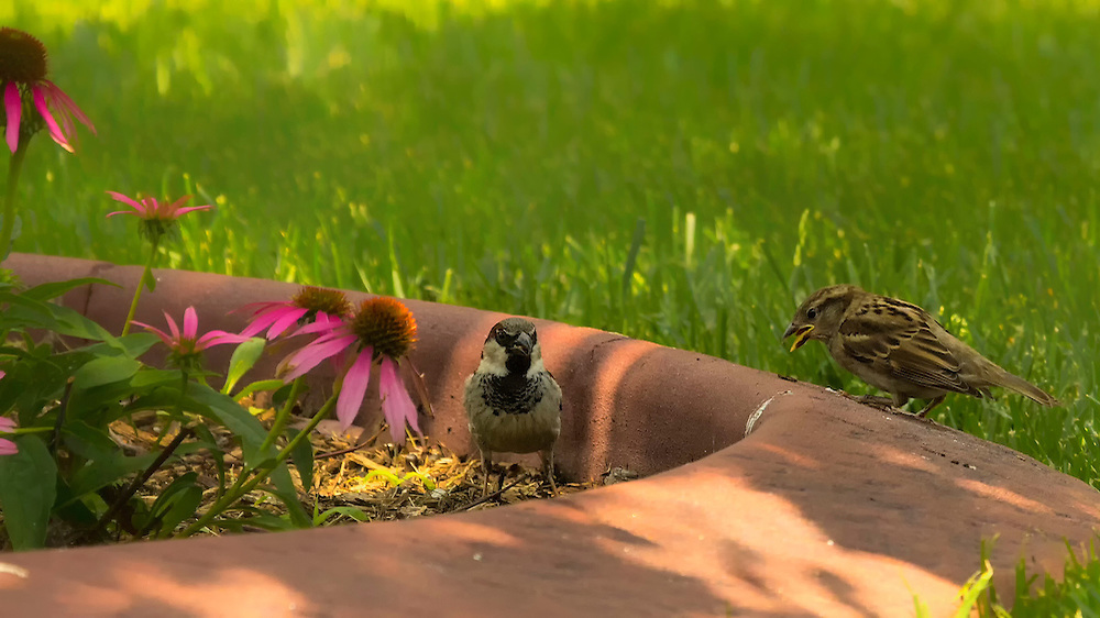 A male and female house sparrow play in the garden near my purple coneflowers