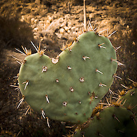 Saguaro National Park, Tucson. Heart shaped Prickly Pear leaf.