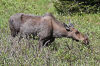 Cow moose (Alces alces shirasi) browsing on willow leaves.  Rocky Mountain National Park, Colorado, USA