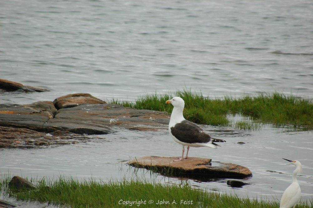 A seagull and crane at one of the Thimble Islands in Long Island Sound at Stone Creek, CT
