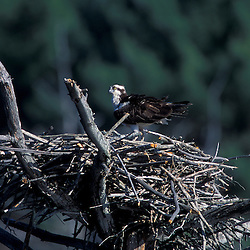 Durham, NH.An osprey, Pandion haliaetus, in its nest near Great Bay in Durham, NH.