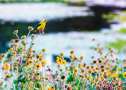 A tiny goldfinch perched atop a field of wildflowers