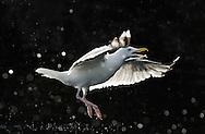 Herring gull, Larus argentatus, The Living Sea, North Atlantic, Flatanger, Nord-Trondelag, Norway.