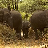 Africa, Tanzania, Lake Manyara. The matriarchs protect a young elephant calf.