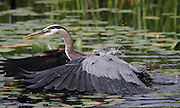 A great blue heron swoops down at a fish after watching it for more than 10 minutes at Juanita Bay in Kirkland. The heron missed its prey. (Ken Lambert / The Seattle Times)