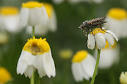 Mosquito on a common chamomile (Anthemis cotula)