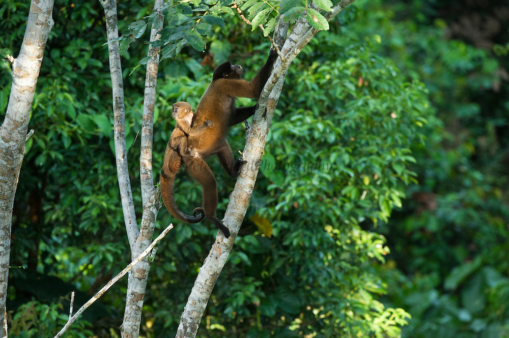 Common Woolly Monkey (Lagothrix lagothricha) Mother & Baby<br /> Yasuni National Park, Amazon Rainforest<br /> ECUADOR. South America<br /> HABITAT & RANGE: Forests of Upper Amazon Basin of Colombia, Ecuador, Peru and Brazil. <br /> IUCN STATUS: Cites II, Endangered species.