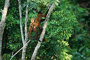 Common Woolly Monkey (Lagothrix lagothricha) Mother & Baby<br /> Yasuni National Park, Amazon Rainforest<br /> ECUADOR. South America<br /> HABITAT & RANGE: Forests of Upper Amazon Basin of Colombia, Ecuador, Peru and Brazil. <br /> IUCN STATUS: Cites II, Endangered species.