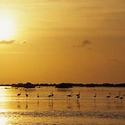 West Indian or Caribbean Flamingo (Phoenicopterus ruber ruber)  Sunset over Great Inagua, Bahamas.