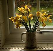 Bunch of daffodils in jug vase on window sill