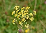 Fennel - Foeniculum vulgare