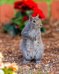 A Squirrel Posted Up In The Flower Garden