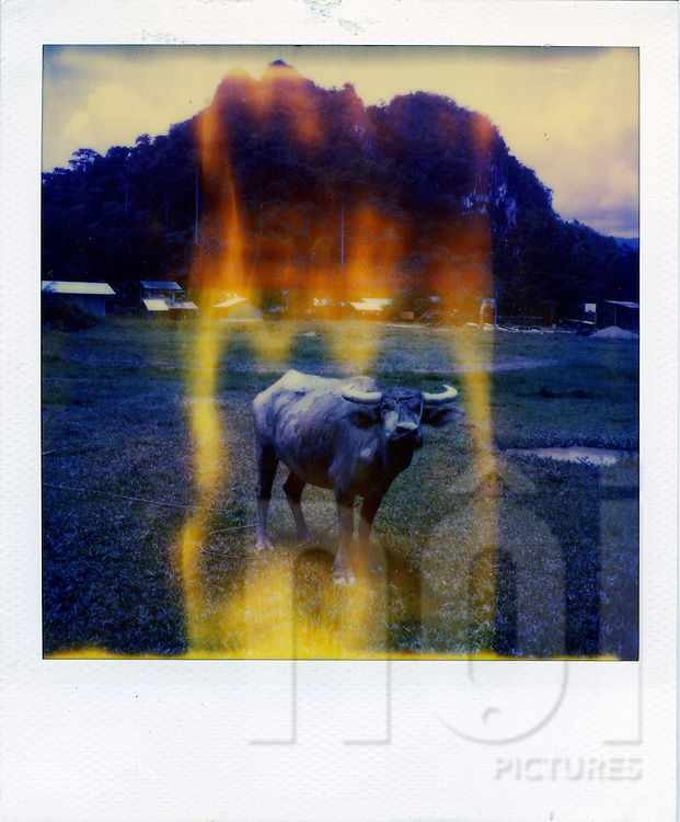 Old Polaroid with distorted colors of a water buffalo standing in a field, Palawan Island, Philippines, Southeast Asia