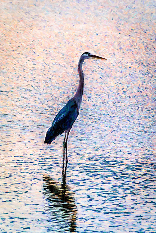 Taken at sunset, this heron posed for a silhouette while fishing in the channel at Ocean Isle Beach. I process the image to emulate an oil panting, emphasizing the colors while using a smaller brush and short brush stroke.
