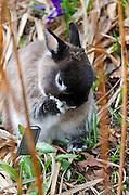 Netherland Dwarf rabbit licking its paw in a garden.