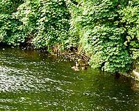 Mallard (Anas platyrhynchos). Glenarm, Northern Ireland. Image taken with a Leica X2 camera