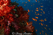 goldies, or lyretail anthias, Pseudanthias squamipinnis, swarm over coral bommie covered with soft corals, Dendronephthya sp., Beqa Lagoon, Viti Levu, Fiji ( South Pacific )