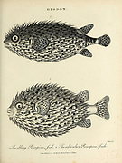 Diodon - Porcupinefish or balloonfish Copperplate engraving From the Encyclopaedia Londinensis or, Universal dictionary of arts, sciences, and literature; Volume V;  Edited by Wilkes, John. Published in London in 1810