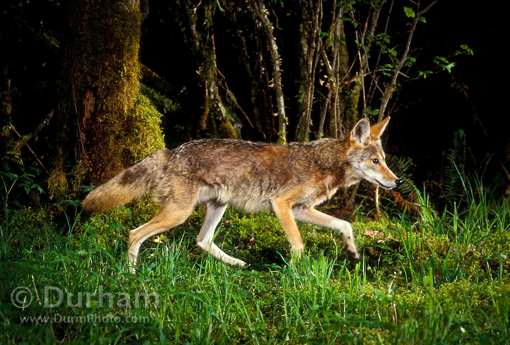 A wild coyote (Canis latrans) walks down a game trail path at night in the Mount Hood National Forest, Oregon. Summer 2000.