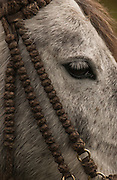 Horse & knotted bridle made from bull hide<br /> Yanahurco Hacienca (Ranch) - largest privately owned Hacienda in Ecuador.<br /> Base of Cotopaxi Volcano<br /> Andes<br /> ECUADOR.  South America
