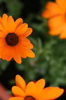 Orange flowers, blurred