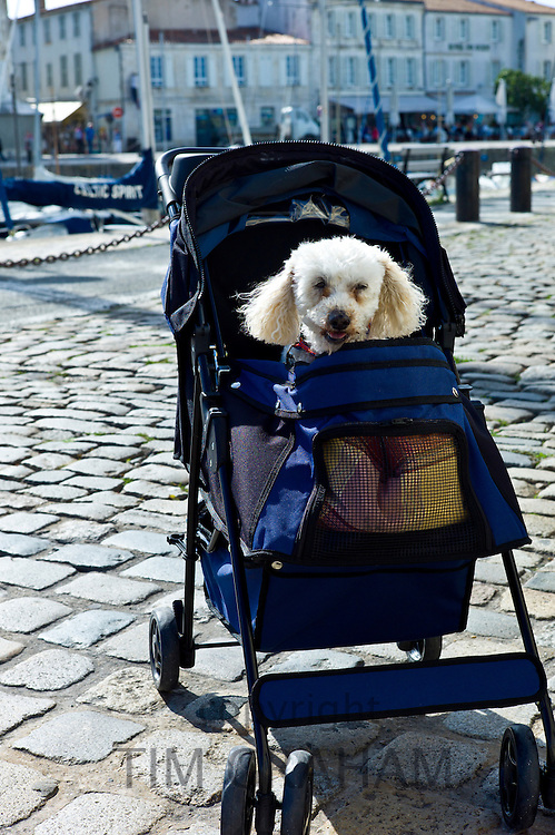 Traditional French poodle pampered pet in baby stroller by the harbour at St Martin de Re,  Ile de Re, France