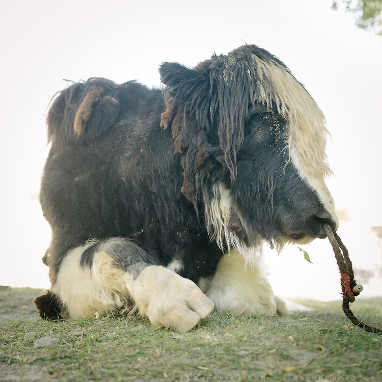 Portrait of a yak. The traditional life of the Wakhi people, in the Wakhan corridor, amongst the Pamir mountains.