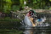 North America, United States, Oregon, Portland, Crystal Springs Rhododendron Garden, Wood Duck drake (Aix sponsa) bathing