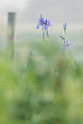 A group of Siberian irises