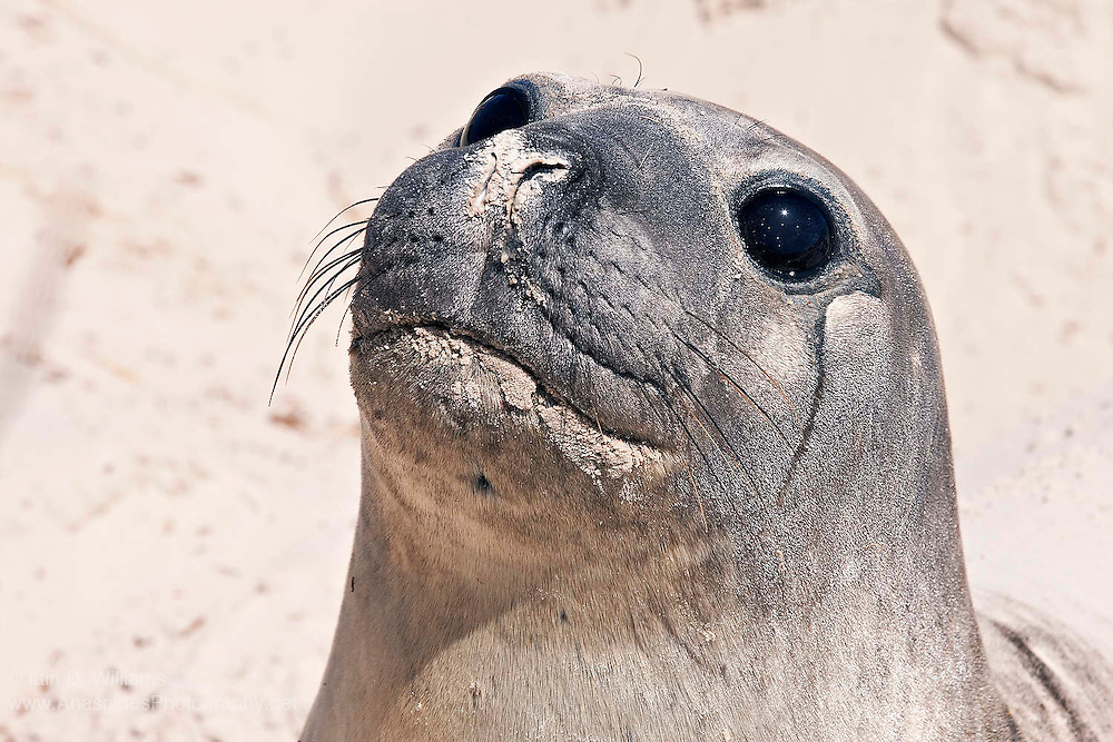 Female southern elephant seals have the cutest of eyes - large and dark