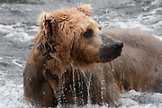 Brown (Grizzly) Bear fishing for Salmon in the Brooks River with water dripping from it -closeup (Ursus arctos horribilis) Katmai National Park, Alaska