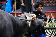Indonesia, Sulawesi. Buffalo sacrificing. <br />