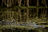 A pod of alligator hatchlings catch some sun on their mother in the Turner River, Everglades