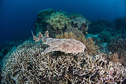Tassled Wobbegong Shark, Eucrossorhinus dasypogon, swimming over a colony of Acropora coral. Raja Ampat, West Papua, Indonesia, Indian Ocean