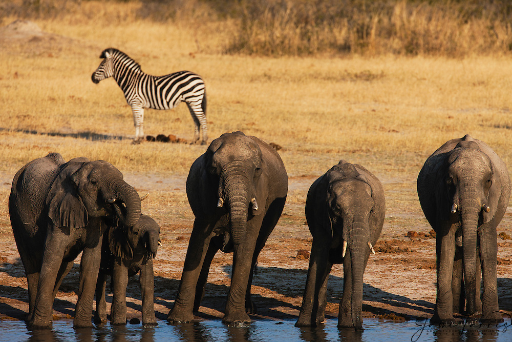 With a zebra standing just behind, a herd of African elephants (Loxodonta africana) squeeze together while drinking at a water hole at dusk, Hwange National Park, Zimbabwe,Africa