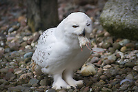 Owl, eating, mouse
