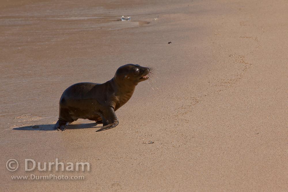 A galapagos sea lion pup on (Zalophus californianus) on the beach. Santa Fe Island, Galapagos Archipelago - Ecuador.