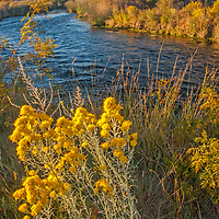 Rabbitbrush blooms beside the Owens River near Bishop in the Owens Valley, California. This is a major water supply for the City of Los Angeles, which acquired most of the valley in an infamous land grab at the turn of the twentieth century.