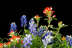 Indian paintbrush and Texas bluebonnet against black background, Meadow View Nature Area, Ennis, Texas. USA.
