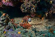 Red Coral-Corail rouge (Corallium rubrum) and Nudibranch-Doris dalmatien (Peltodoris atromaculata) of Méditerranée.