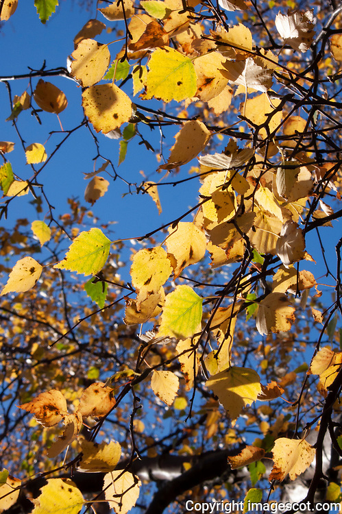 Autumn Birch leaves<br /> *ADD TO CART FOR LICENSING OPTIONS*