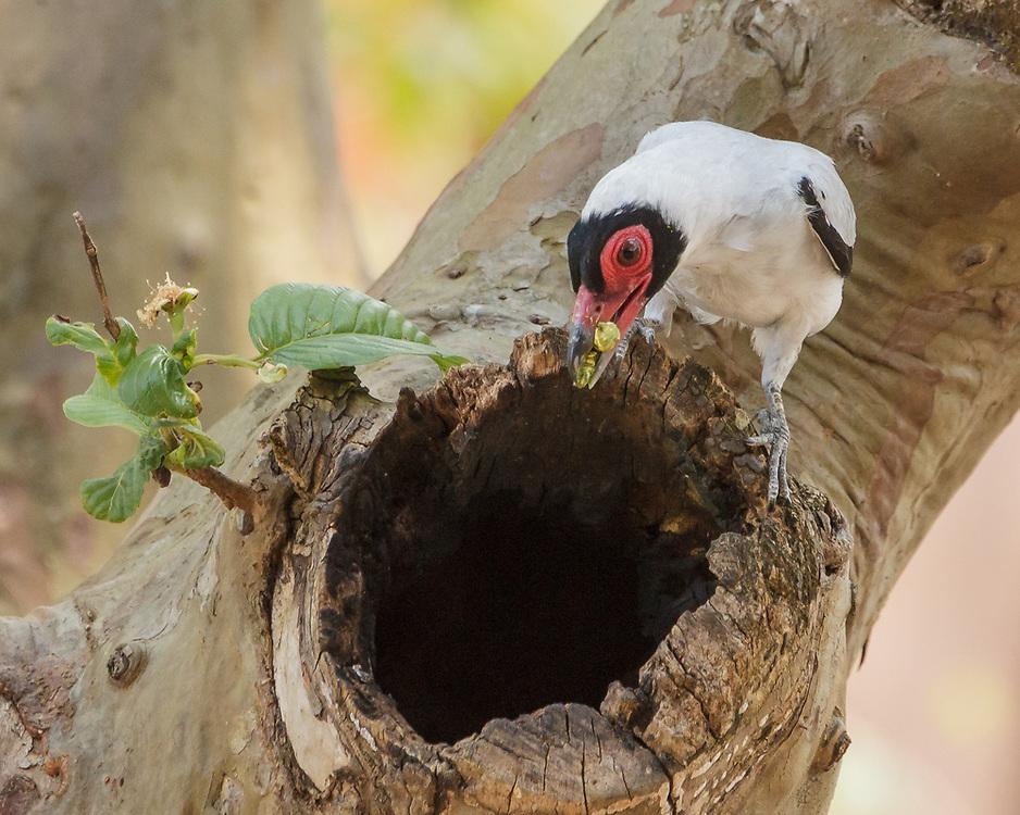 Tityra semifasciata; parent at nest